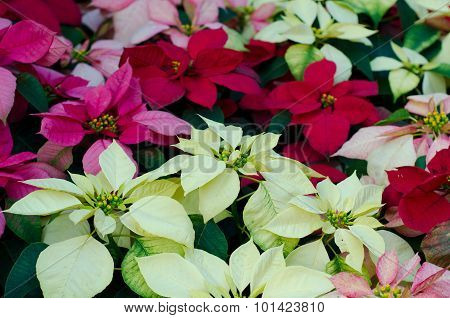Christmas Or Poinsettia  Flower
