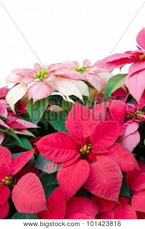 Christmas or Poinsettia isolated on white background