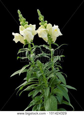 Snap dragon (Antirrhinum majus) isolated  on black background