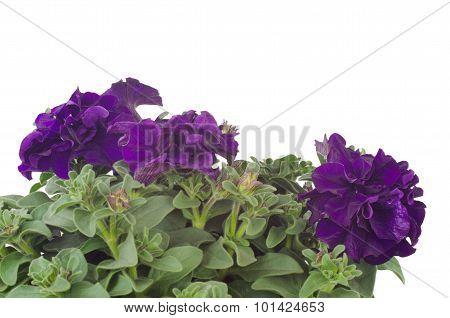 petunia flower isolated on black background