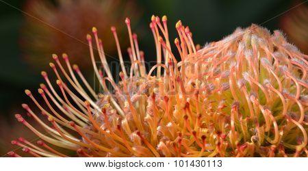Common Pincushion Protea