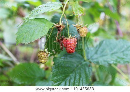 Unripe And Ripe Raspberries In The Garden