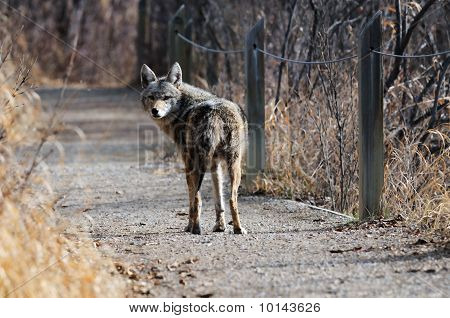 Coyote In Urban Sanctuary  In The City Of Calgary