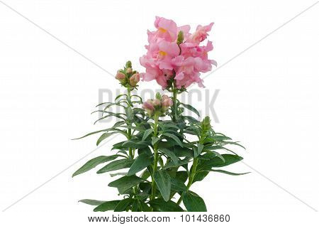 Snap Dragon (antirrhinum Majus) Isolated  On  White Background