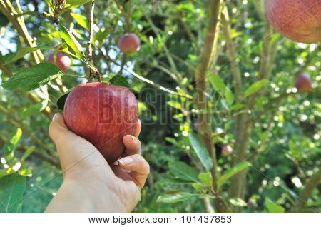 Picking Red Apple In The Tree