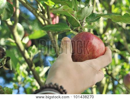 Teenager's Hand Picking Red Apple In The Tree