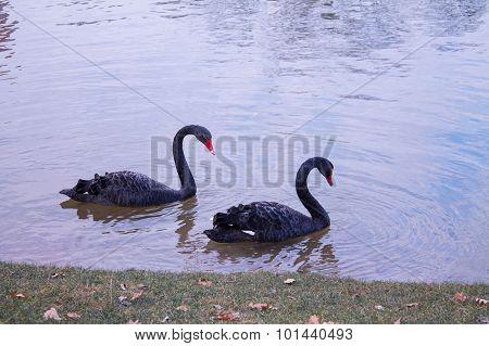 Couple of loving black swans