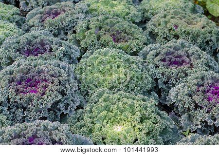 Ornamental Cut Kale