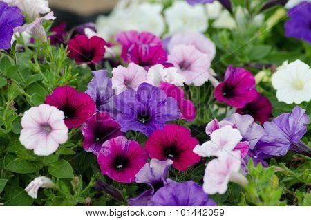 Petunia  Blossom