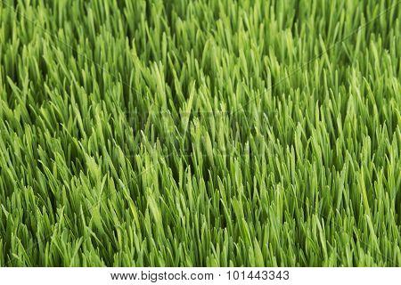 Young Wheat Closeup