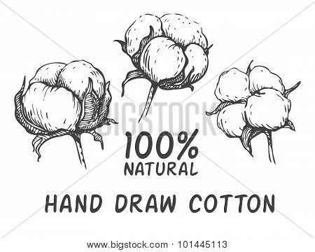 Vector Set Of Hand Draw Ink Cotton Plant.
