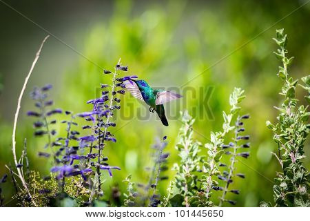 Green Violeteared hummingbird.