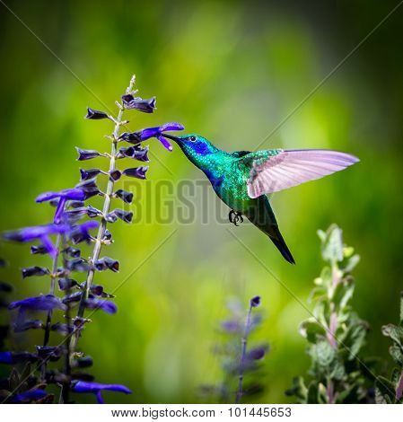Green Violeteared Hummingbird