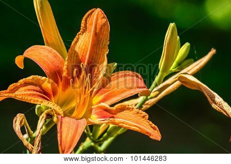 Orange Daylily Flower On A Green Background