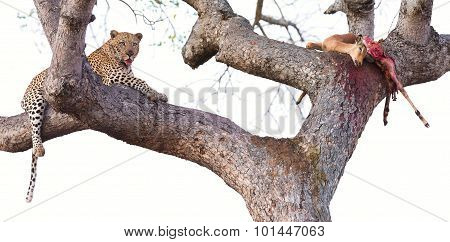 Leopard Resting In  Large Tree With His Kill Half Eaten