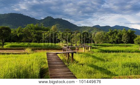 Wooden walkway in rice field during raining day