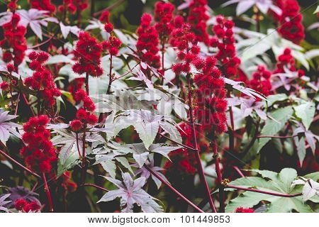 Castor Oil Plant With Red Prickly Fruits And Colorful Leaves