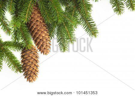 Conifer fir tree.
