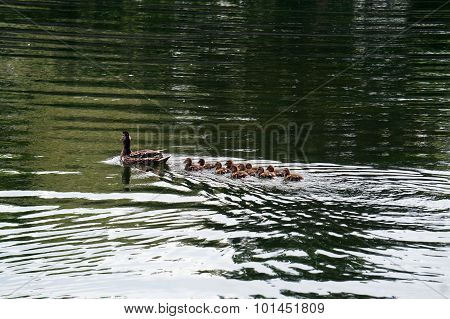Mother Duck Swims with Ducklings
