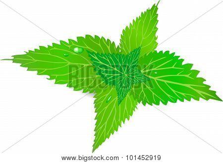 Nettle, green