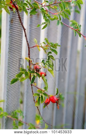 Rosehip Branch With Berries In Autumn