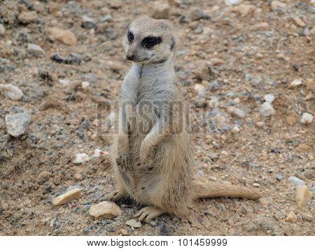 Meerkat ( Suricata Suricatta )