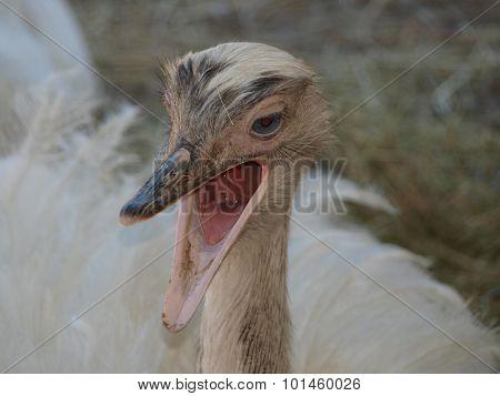 Ostrich (struthio Camelus )