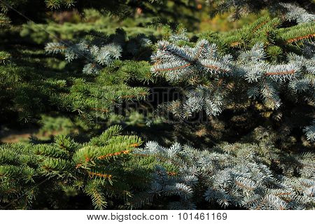 Picea European and Picea American