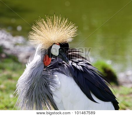 East African Crowned Crane Is Looking At His Feathers