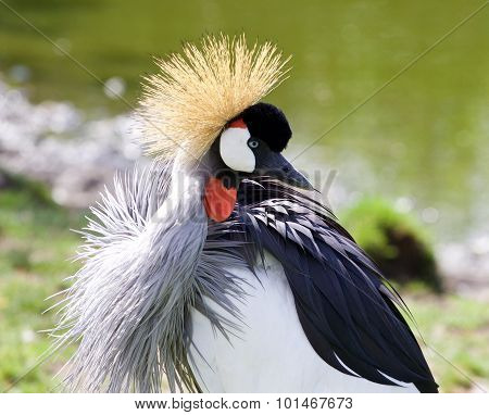 The Close-up Of The Beautiful East African Crowned Crane