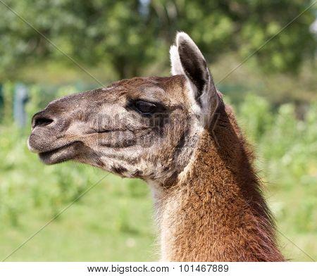 The Serious Llama Close-up