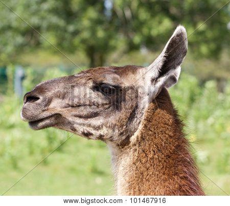 Close-up Of A Beautiful Lama