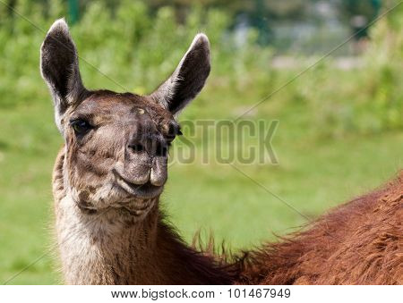 The Background With The Funny Llama