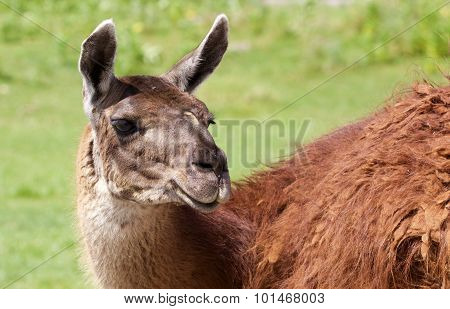 The Llama's Close-up With The Grass Background