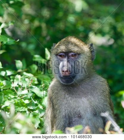 Very Funny Baboon's Portrait