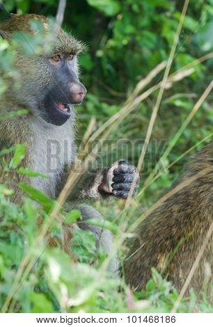 The Reaction Of A Baboon