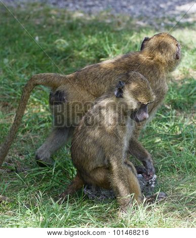 Two Young Baboons Together