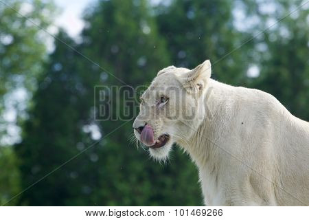 Funny White Lion's Portrait With The Long Tongue