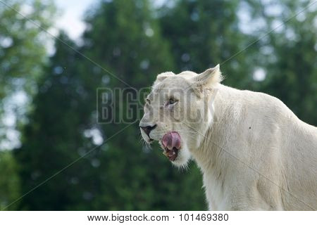 Very Beautiful Portrait Of A White Lion With The Open Mouth