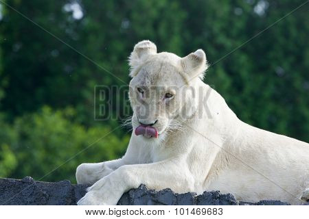 Funny Lion Shows Her Tongue