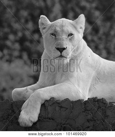 The Portrait Of The Beautiful And Dangerous Lion