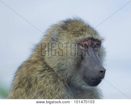The Surprised Baboon