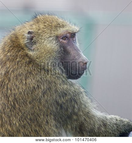 Funny Thoughtful Baboon