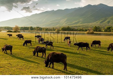 Buffaloes In Greece