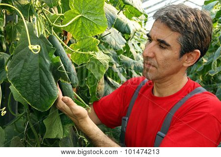 Cucumber Production In Greenhouse