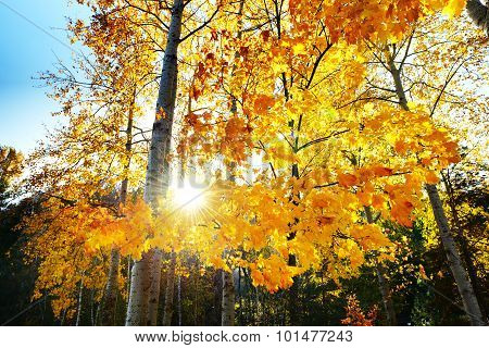 The Maple Trees In Fall Colors