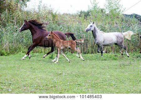 Foals And Mares Running Through The Meadow Summertime