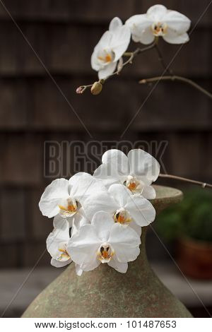 White and pink phalaenopsis orchid blooms in spring