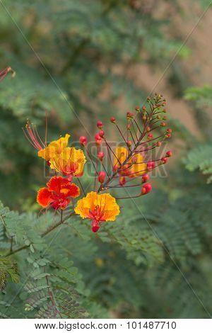 Heartleaf bush penstemon, Keckiella cordifolia, orange flowers