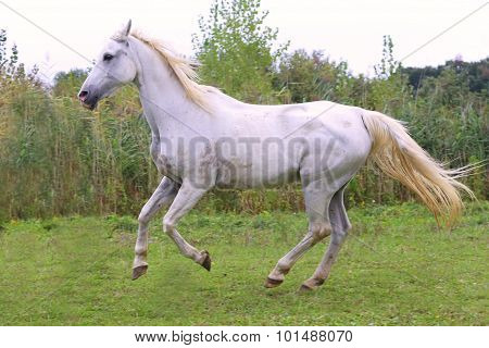 Beautiful Gray Arabian Mare Galloping On Pasture